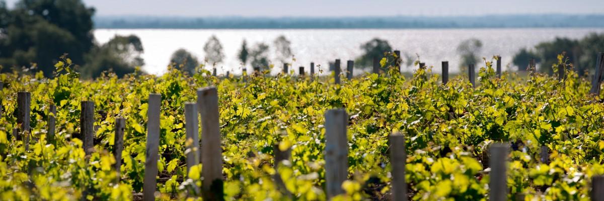 Vue du vignoble en été avec l'estuaire en arrière-plan..